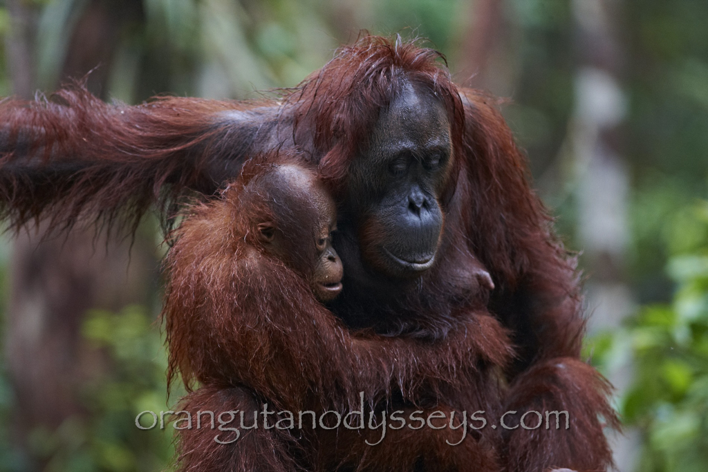 A little look inside a trip of a lifetime with the beautiful Orangutans of Indonesia