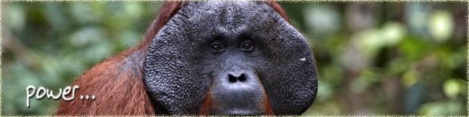 Power Orangutan Odysseys