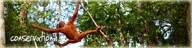 Conservation Orangutan Odysseys