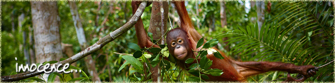 Innocence Orangutan Odyyseys