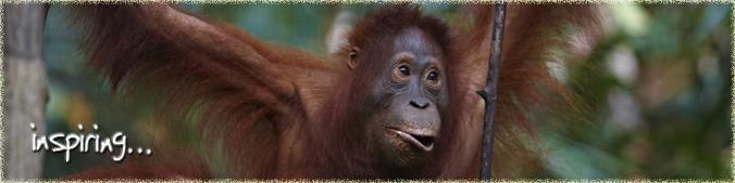 Inspiring Orangutan Odysseys