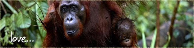 Love Orangutan Odysseys